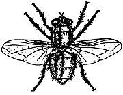 Blow-fly-calliphoridae