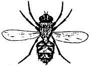 Cluster-fly-pollenia-rudis