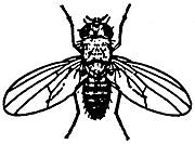 Fruit-fly-Drosohila-spp.