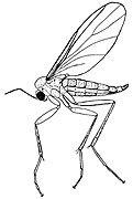 Fungus-gnat-Mycetophilidae-and-Sciaridae