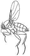 Phorid-fly-Phoridae