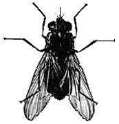 Stable-fly-Stomoxys-calcitrans
