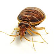 bedbugsingle-2