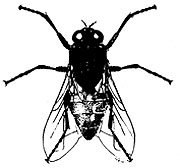 house-fly-musca-domestica
