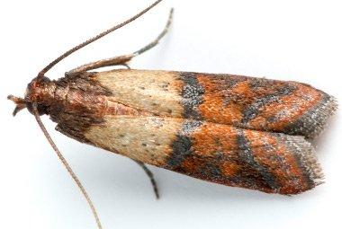 indiean-meal-moth