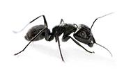 litt_ant