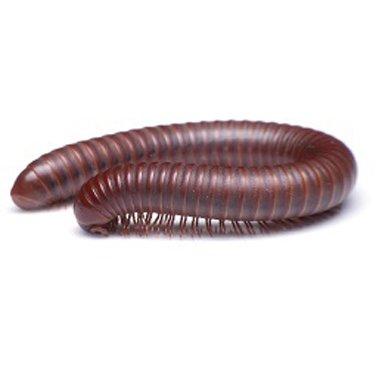 millipedes in Kansas City