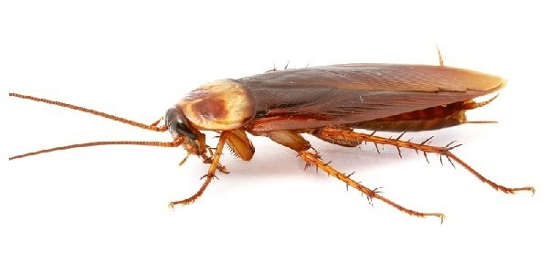 roach-3