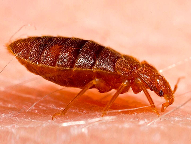 bed bugs in semi-cab
